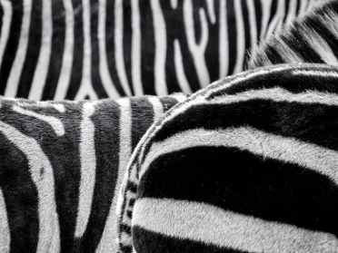 black and white zebra patternt